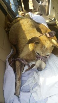 The dog with tumour tied up as it was snappy and loaded in a car and off to Cartman shelter
